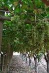 Tendoni d'uva