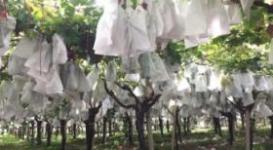 Insacchettamento dell'uva